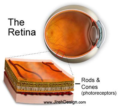 Stem cells retina