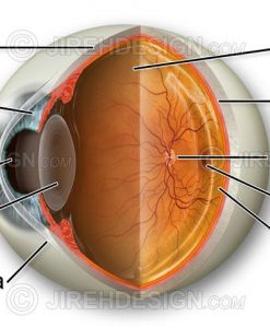 Eye anatomy exploded image cross-section of an eyeball with eye parts labeled