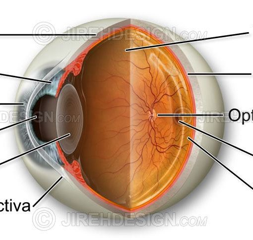 Normal eye anatomy illustration with cross-section and labels #an0001