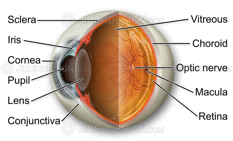 Eye anatomy cross-section - #AN0001 | Stock eye images