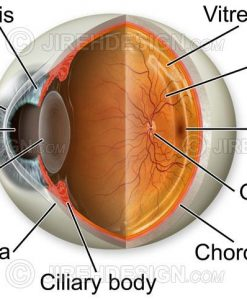 Normal eye anatomy illustration with oblique view, cross-section and labels. Labels are optional