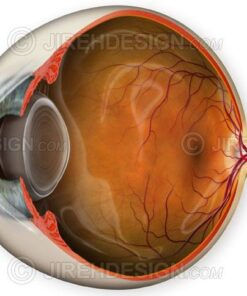 Normal eye anatomy illustration depicting a unique cross-section view. Optional labels available