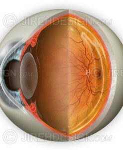 Normal eye anatomy cross-section with optional labels removed