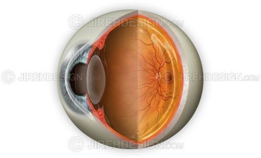 Normal eye anatomy cross-section with optional labels removed #an0006