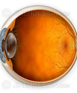Normal eye anatomy illustration with cross-section. Optional labels available