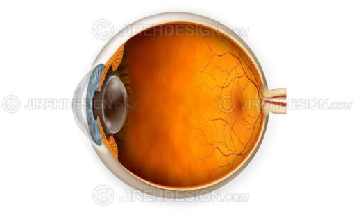 Normal eye anatomy illustration with cross-section #an0007