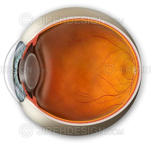 Eyeball cross-section including anterior and posterior segments #an0008
