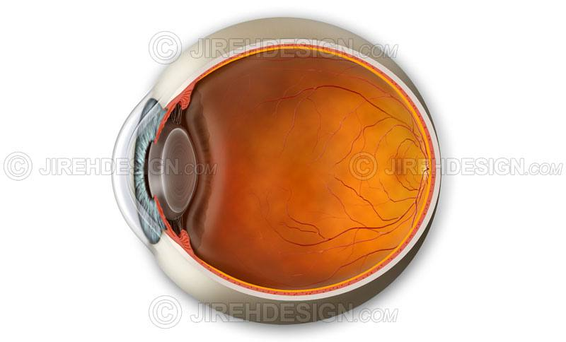 Eyeball cross-section including anterior and posterior segments. Labels are optional