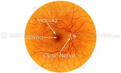 Illustration depicting the posterior pole – retina, macula, optic nerve and fovea