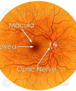 Illustration depicting the posterior pole – retina, macula, optic nerve and fovea