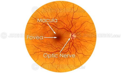 Illustration depicting the posterior pole of the retina #an0009