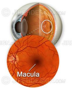 The macula illustrated with a cross-section of the eyeball backdrop