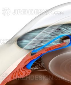 Illustration depicting the eye's aqueous flow through the anterior chamber