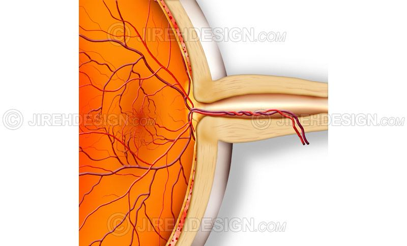 Cross-section illustration of the optic nerve with retina