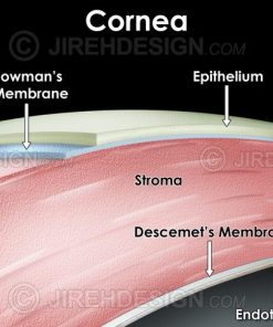 Cross-section illustration of the layers of the human cornea