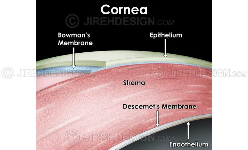 Cross-section illustration of the layers of the human cornea #an0023