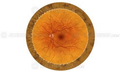 Human retina illustration with no labels. Optional labels available