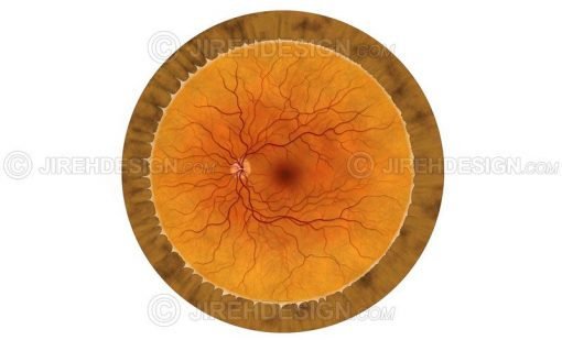 Human retina illustration with no labels #an0024