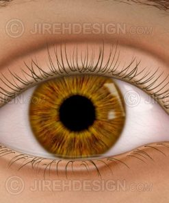 External eye with eyelids