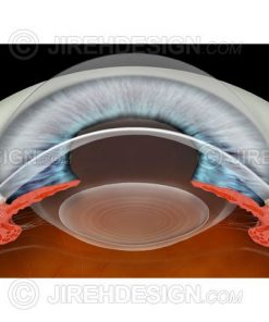 Anterior segment and anterior chamber cross-section image with cornea, iris ciliary body and lens