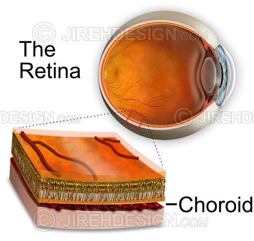 Choroid cross-section showing retinal layers #an0031