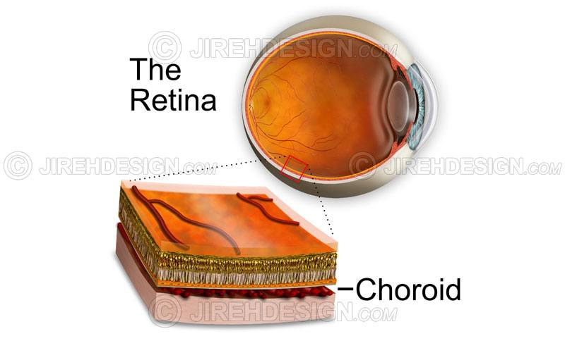 Choroid cross-section showing retinal layers with eyeball background image