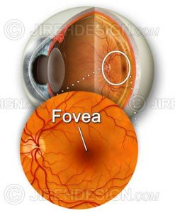 Fovea and macula with retina and eyeball cross-section backdrop