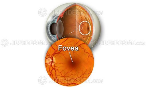 Fovea and macula with retina and eyeball cross-section backdrop #an0033