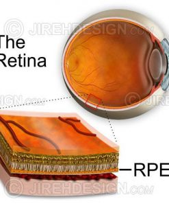 RPE cross-section of the retina depicting the layers of the retina including the retinal pigment epithelium