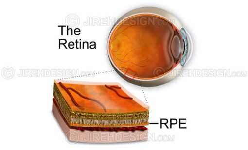 RPE cross-section of the retina depicting the layers of the retina #an0040