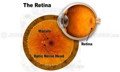 Retina anatomy illustration with labels of macula and optic nerve head