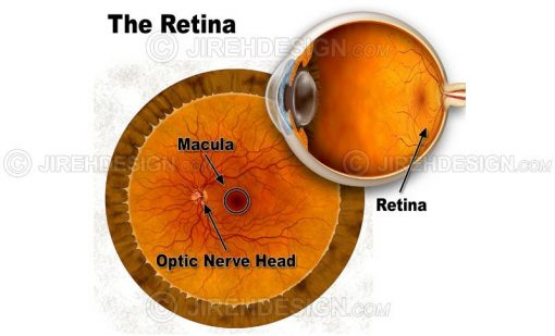 Retina anatomy illustration with labels of macula and optic nerve head #an0041
