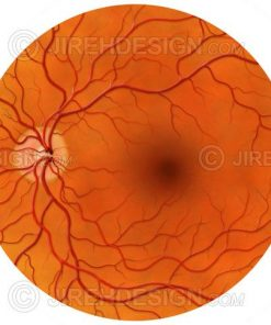 Posterior pole of the retina including the optic nerve, macula and retinal vessels