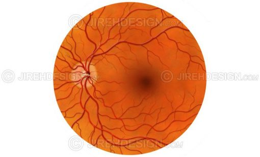 Posterior pole of the retina, optic nerve, macula and retinal vessels #an0047
