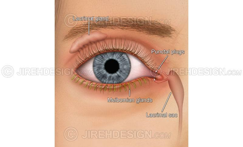 External Eye Anatomy Archives Stock Eye Images