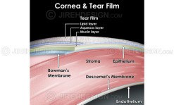 Cornea and tear film layers