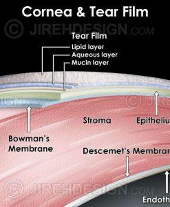 Cornea and tear film layers