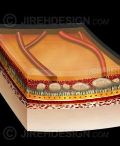 Drusen and retina cross section