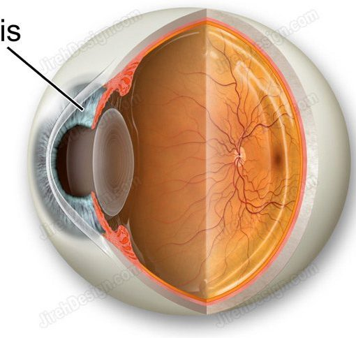 Human iris illustrated and labeled.